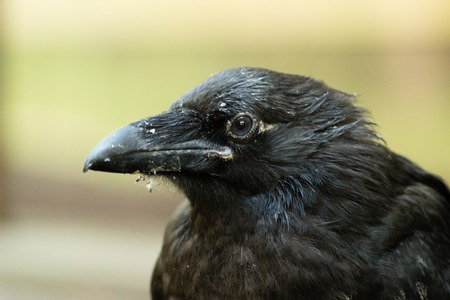 black plumage: A raven is one of several larger-bodied members of the genus Corvus. These species do not form a single taxonomic group within the genus, but share similar characteristics and appearances that generally separate them from other crows. The largest raven sp
