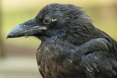 taxonomic: A raven is one of several larger-bodied members of the genus Corvus. These species do not form a single taxonomic group within the genus, but share similar characteristics and appearances that generally separate them from other crows. The largest raven sp