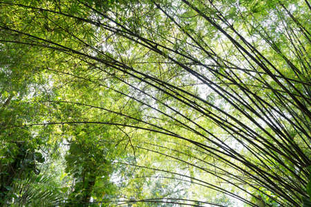 Curve of bamboo tree in the garden