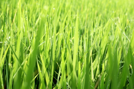 green rice field Stock Photo - 14187278