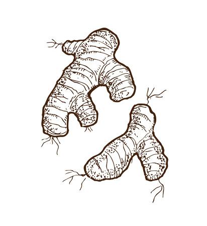 jengibre: ilustración jengibre incompleta