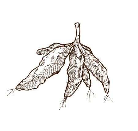 cassava doodle Vector