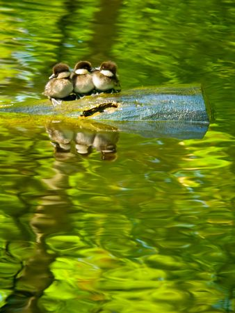 Three tiny common goldeneye (Bucephala clangula)  Stock Photo