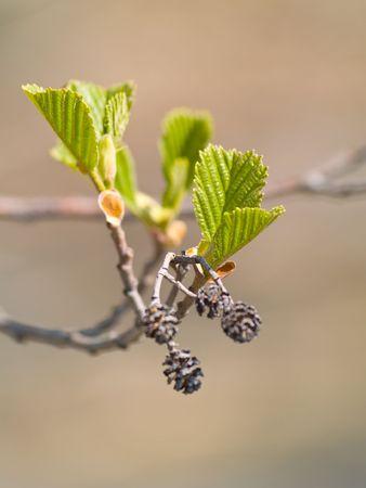 New leaves of Black Alder (Alnus glutinosa)