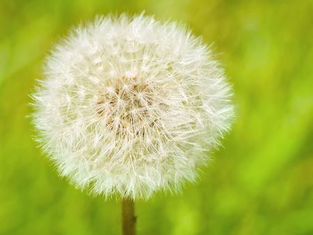 A single dandelion against a green grass