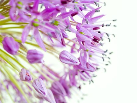 A macro shot of giant onion (Allium giganteum)