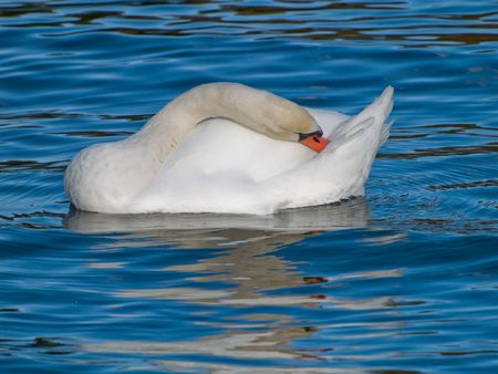 A mute swan (cygnus olor) cleaning the feathers