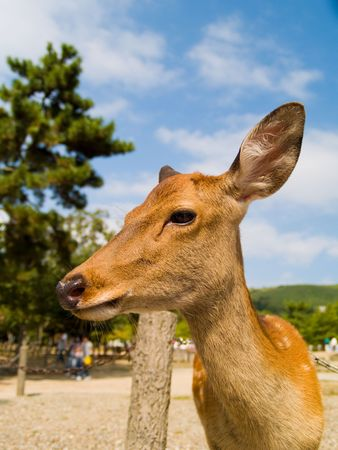 Sika Deer (Cervus nippon) in Nara Park, Japan. In the park, there are over 1000 wild sika deer posing for tourists.