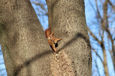 spring red squirrel on a tree 版權商用圖片 - 143252605