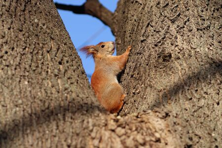 spring red squirrel on a tree