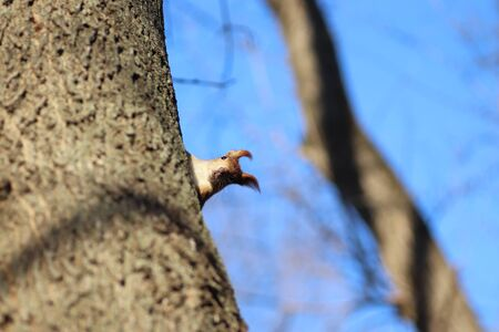 spring red squirrel on a tree 版權商用圖片 - 143252203