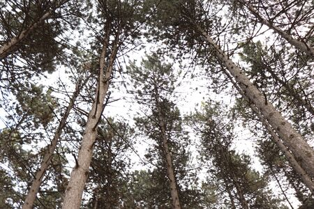 tall green pines, many trees in the park