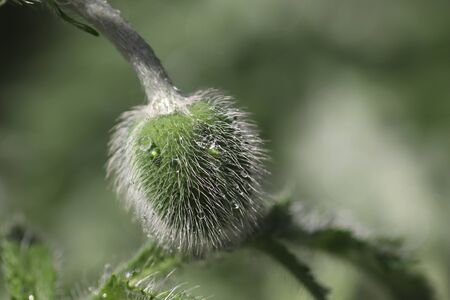 soothing flowers like a beautiful green background, fluffy buds of decorative poppy in drops of water