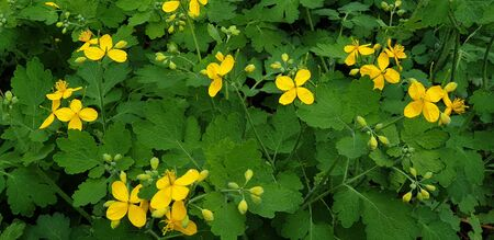 beautiful little yellow flowers in spring in the flowerbed, celandine flowers Banque d'images