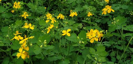 beautiful little yellow flowers in spring in the flowerbed, celandine flowers Banque d'images - 149437112