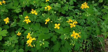 beautiful little yellow flowers in spring in the flowerbed, celandine flowers Banque d'images - 149437115