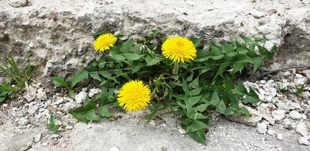 yellow dandelions with green leaves grow from a concrete staircase, strong sprouts sprout from a stone