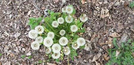 fluffy white dandelion is preparing to plant seeds, the beginning of sunny summer Banque d'images