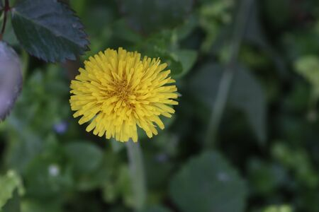 yellow dandelion among green leaves and plants on a summer sunny day