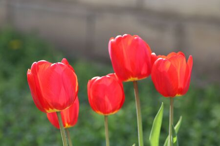 beautiful red tulips on a sunny day on the streets in the flowerbed, red bright flowers in the summer Banque d'images - 149438672