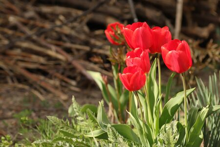beautiful red tulips on a sunny day on the streets in the flowerbed, red bright flowers in the summer