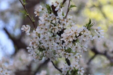 spring flowering of flowers on a tree, white flowers