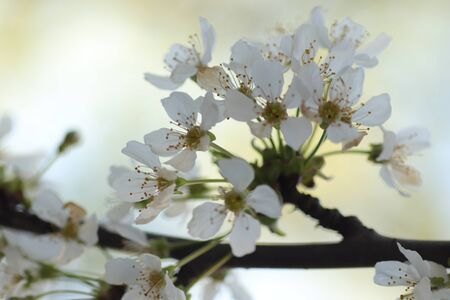 spring flowering of flowers on a tree, white flowers Banque d'images - 149438705