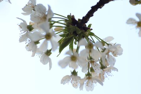 spring flowering of flowers on a tree, white flowers Banque d'images - 149438708