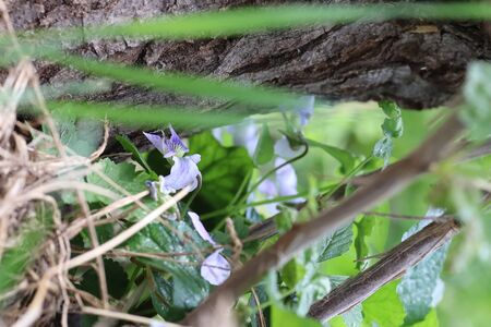 green leaves and blue flowers near a dry stump in summer, forest flowers