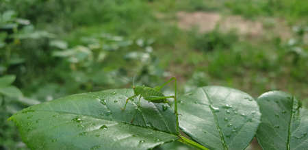 grasshopper on green leaves, large green insect with red eyes on a leaf in summer Banque d'images