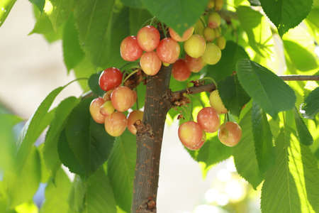 sweet cherry pink and yellow unripe on branches with green leaves close-up on a sunny day