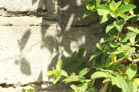 green leaves on a background of a gray wall, green climbing bush