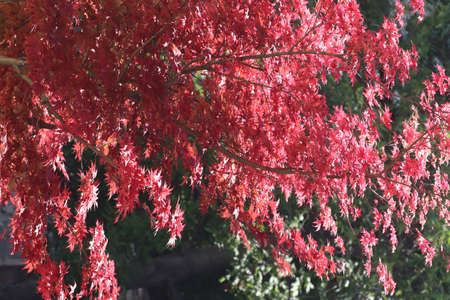 beautiful tree with red leaves under the bright sun on a sunny day, beautiful red leaves on the tree Banque d'images