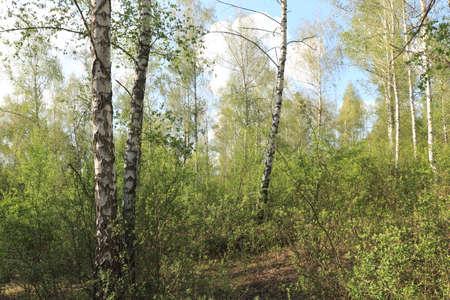 birch forest green bushes around birches, birches on a summer day in a grove