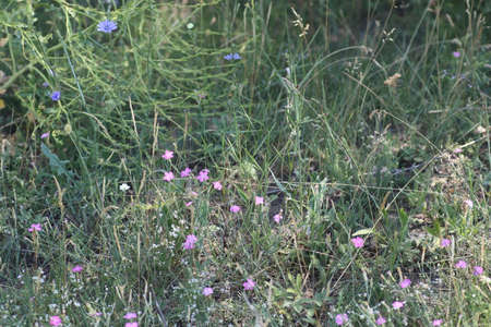 wild purple flowers in the field, dry grass around, on a sunny day