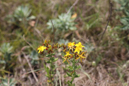 wild yellow flowers in the field, dry grass around, on a sunny day Banque d'images