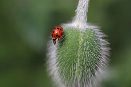 red ladybug on a green fluffy flower bud on a sunny summer day, small world insect
