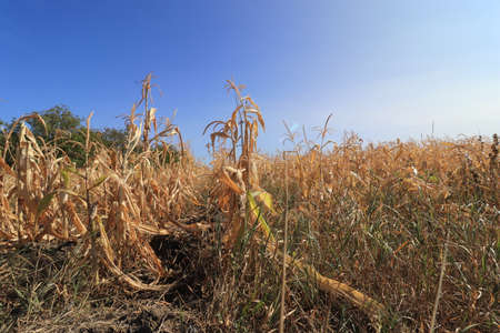 dry corn field on a sunny day under the blue sky