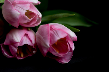 Pink Flowers on the Black Background. Copy of Space. Tulips Stock Photo