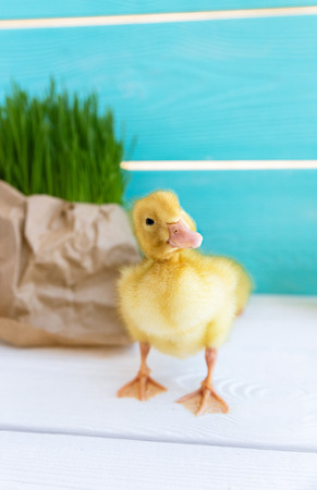 Duck Chick on Fresh Grass Background. Copy Space. Duckling