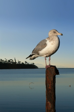 atop: Seagull perched atop rusted metal post in foreground.