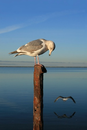 metal post: Seagull perched atop rusted metal post in foreground.