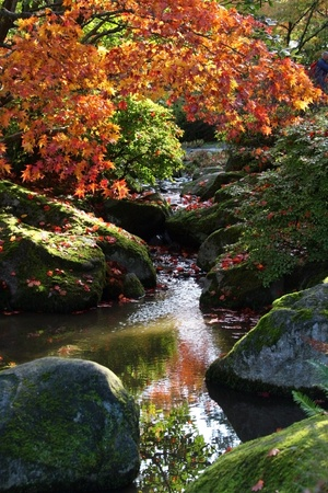 arboretum: View of large bolders or rocks along the edges of small reflecting pond in the foreground. colorful Japanese maple tree in beautiful fall colors. Japanese Garden,Washington Park Arboretum,Seattle.