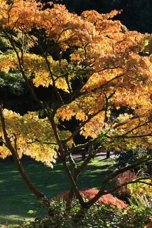 Portrait style photo depicting a Japanese Maple tree in fall or autumn colors,with a background of grass and darkly shaded trees.Washington Park Arboretum,Japanese Garden,Seattle.  photo