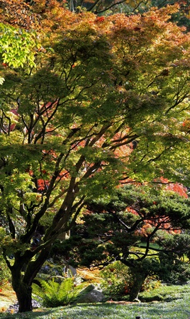 Portrait view of Japanese maple tree sprouting from left side of frame with silhouetted trunk and branches leading up to beautiful colored and backlit autumn colored leaves. Taken at the Japanese Garden,Washington Park Arboretum,Seattle. photo