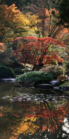 View of reflecting pond in the foreground featuring lilly pads and great colorful reflections of various japanese maples in the background.Japanese Garden,Washington Park Arboretum,Seattle.  photo