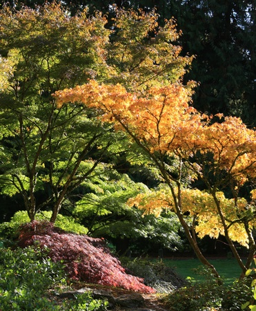 Portrait view of Japanese maple trees sprouting from left side of frame with  beautiful autumn colored leaves in many different hues but mostly many different shades of yellow.Taken at the Japanese Garden,Washington Park Arboretum,Seattle. photo