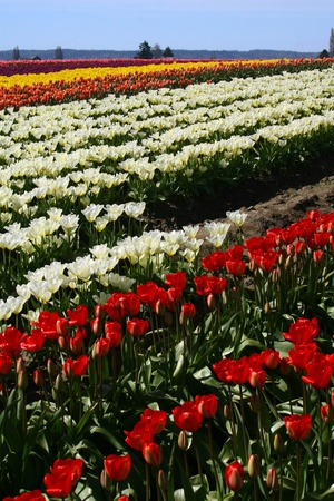 Rows of tulips running at about a forty five degree angle from lower left to upper right,with blue sky above.As for the tulips starting from bottom and moving up,red,white,pink,and yellow. Stock fotó
