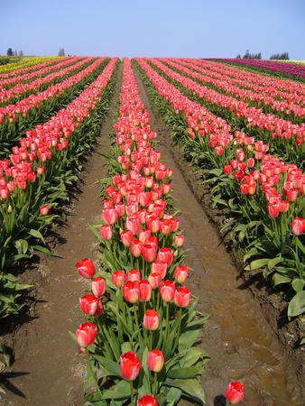 skagit: Rows of pink colored tulips running vertically from bottom of frame up about three quarters of photo with a clear blue sky in the background. Stock Photo
