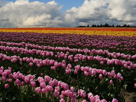two and two thirds: Landscape of tulip fields in skagit valley washington. Purple colored tulips take up lower two thirds of frame leading to yellow,red,and a cloud filled blue sky. Stock Photo
